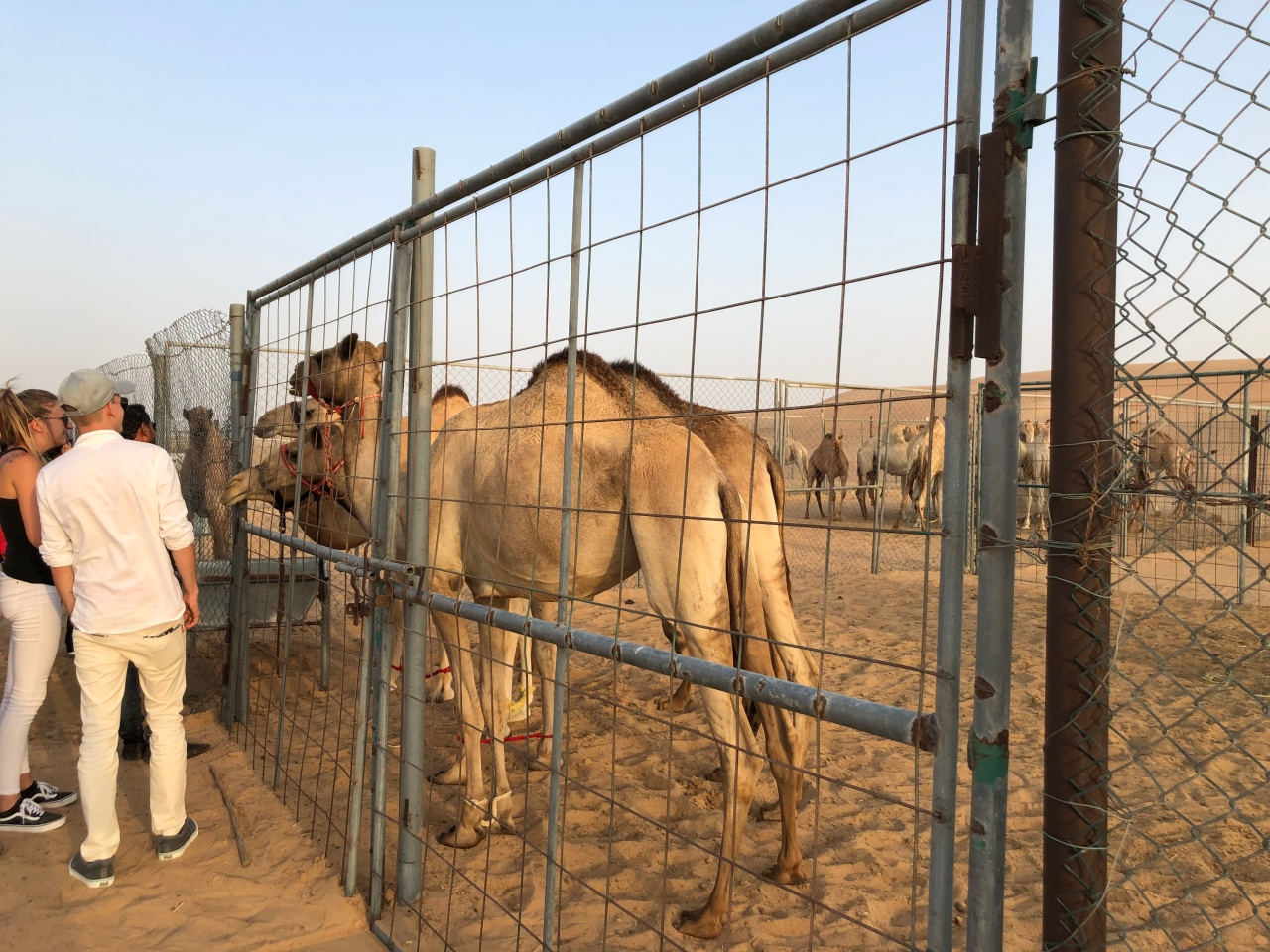 Camel farm Dubai desert
