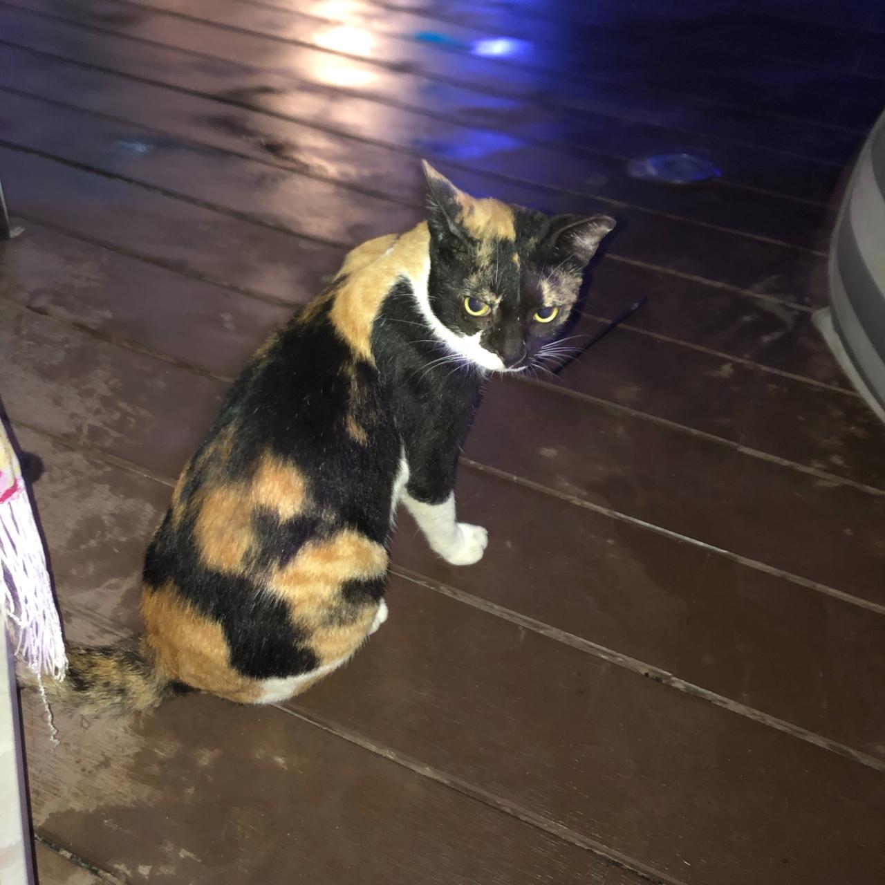 Dubai cat barasti